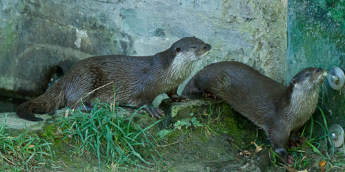 Otter's Eleven: The Great Otter Heist