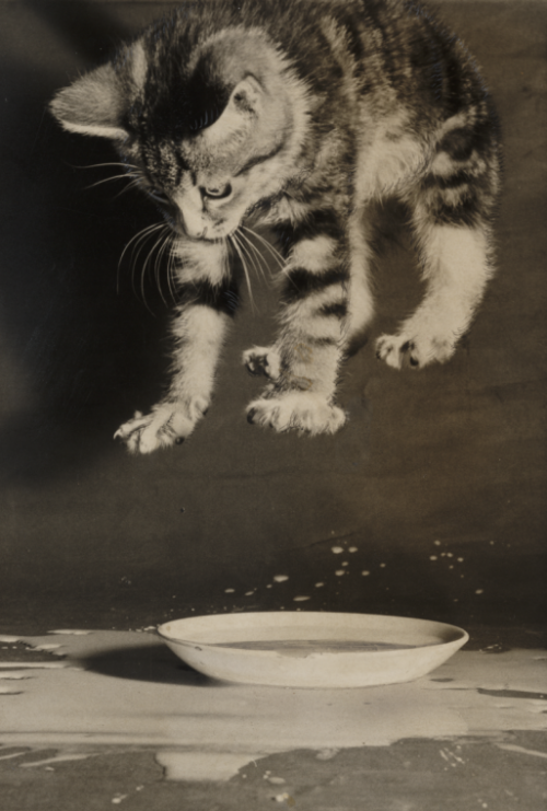 lostsplendor:  Kitten and Saucer, 1958 (via National Media Museum)