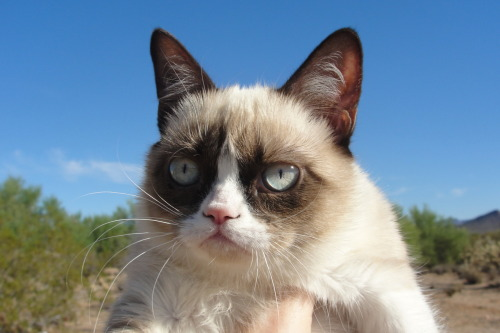 tardthegrumpycat:  Here's a new one of Grumpy Cat!  I love you!