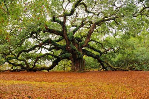 The 1,500 year old 'Angel Oak' , a Live Oak (Quercus virginiana), in Charleston, South Carolina, USA. (via: NRDC BioGems Defenders)