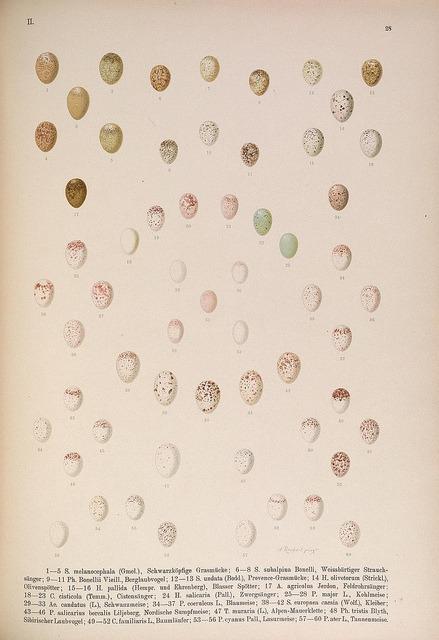 Eggs by BioDivLibrary on Flickr. Naumann,.Gera-Untermhaus,F.E. Köhler,1897-1905 [v.1, 1905].biodiversitylibrary.org/page/35158989
