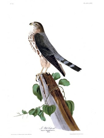 Plate 75 of The Birds of America by John Audubon, Le Petit Caporal, also called the Pigeon Hawk, or more commonly the Merlin.
