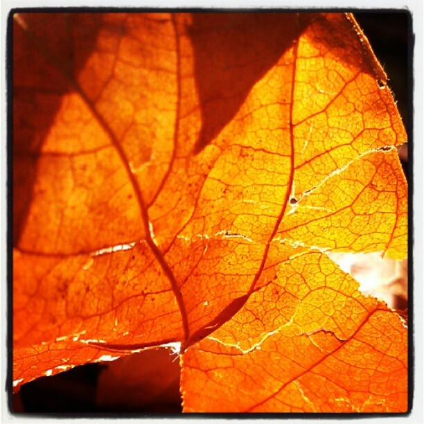 #leaf #leaves #backlit #lightrays  (Taken with Instagram)
