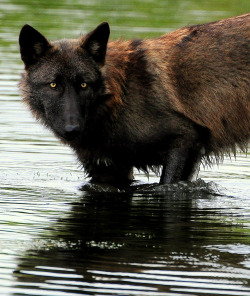 phototoartguy:  Black Wolf (by Eve'sNature-LuvULillian)