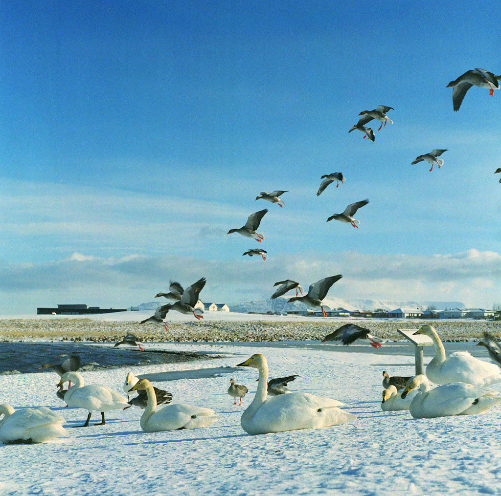 Whooper swans and ? Geese (by —kuski—)