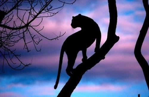 Leopard at Sunset. via Wild for Wildlife and Nature