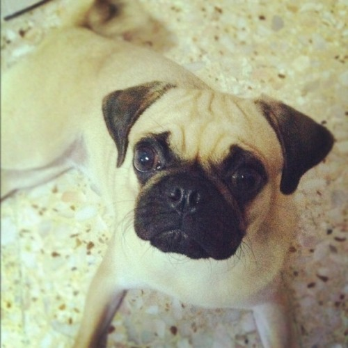 She love to look at me with her big eyes like puss in boots epic look #pug #pugstagram #dog #luffy  (Taken with Instagram at Blk 330)