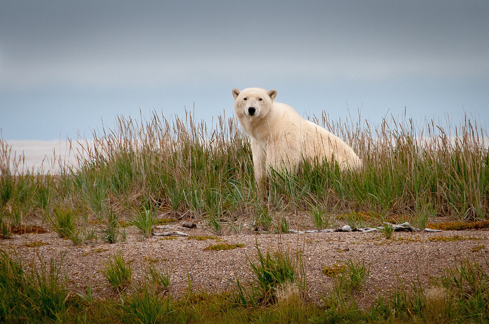 Wild Polar Bear in Northern Manitoba, Canada