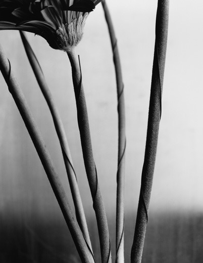 Frank White, Gerbera Daisy #2, 2002 from the series Cuttings