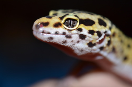 Valentino.Leopard Gecko. I'm not too fond of him, sadly, though he's a great model. : /