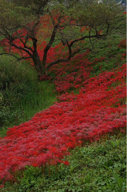 Lycoris in it's native habitat in Japan.