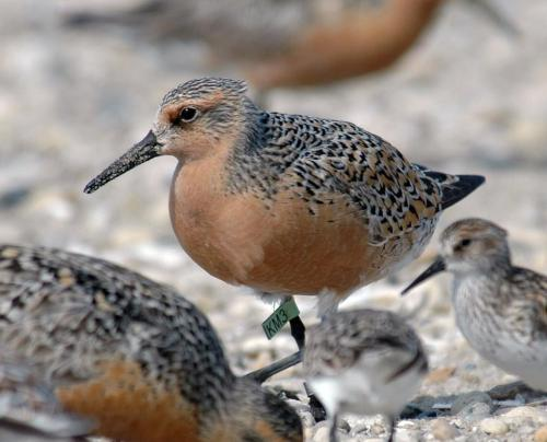 Red Knots (Calidris canutus) These birds have one of the longest migrations, over 16,000 miles round trip, traveling all the way from the tip of South America to the Arctic! Find out about the work that Monomoy National Wildlife Refuge is doing to link them across countries… http://bit.ly/S3rjpj (via: USFWS - NE Region)          (photo: Gregory Breese)