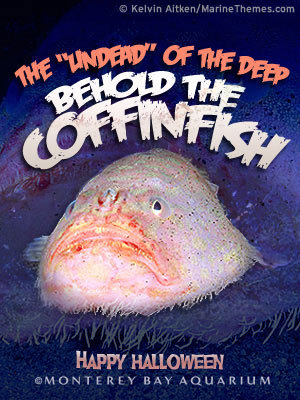 "Behold the coffinfish! The coffinfish is found off the coast of Australia and can inflate itself to look larger than it really is. A member of the sea toad family, it's also covered with small spines. As an ""anglerfish,"" it has a small lure that it can display to attract prey.  Send one of our Halloween e-cards today."