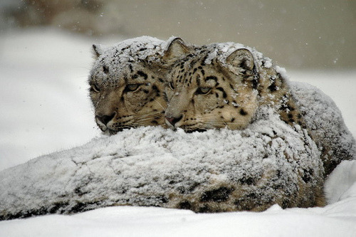 funkysafari:  Snow Leopards by Daniel Abel
