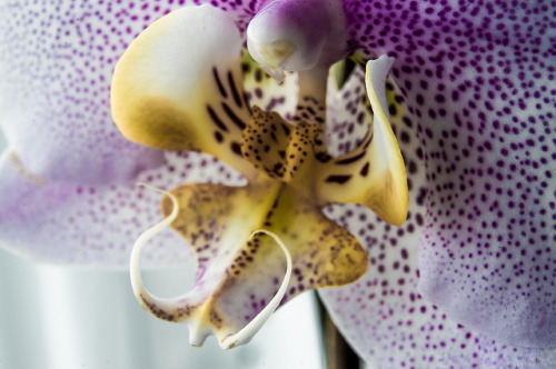 manadhphotography:  Orchid // 17 10 12 on Flickr.