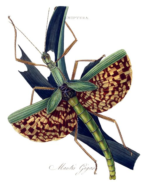 Phasma gigas (Syn. mantis gigas).  From An epitome of the natural history of the insects of India, by  Edward Donovan, London, 1800.  (Source: archive.org)