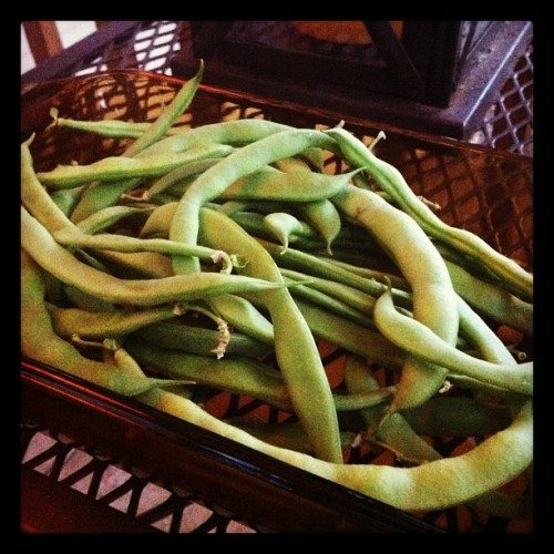 Nice surprise - these pole beans were all hiding on the teepee in the garden! Perfect with roast chicken for supper…