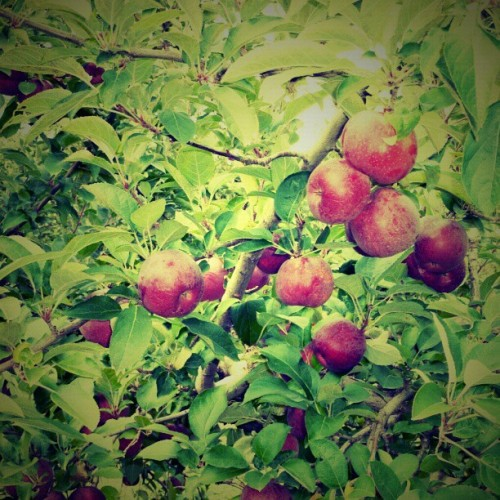 (Day 17) #fruit #fmsphotoaday #applepicking (at Lyman Orchards)
