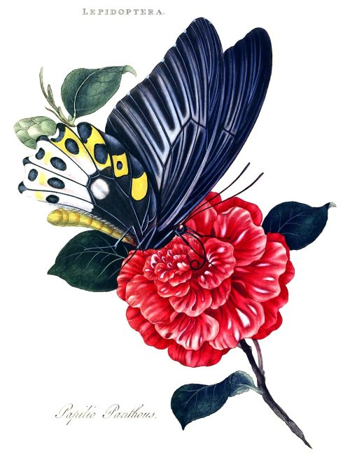 Ornithoptera priamus (syn. papilio panthous)  From An epitome of the natural history of the insects of India, by  Edward Donovan, London, 1800.  (Source: archive.org)