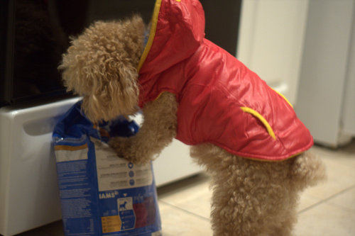 This is Carlos. He is wearing his new coat while inspecting his food. Isn't he so cute?