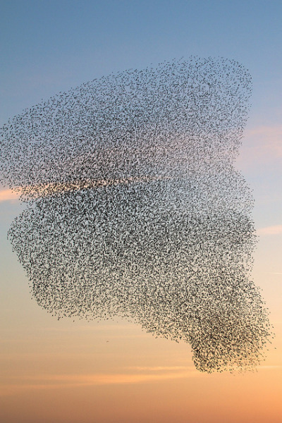 Towering by Gregory Hunt on Flickr.Final set of the Starling photos. Aberystwyth, Wales, UK Taken with Canon EOS 7D + Canon 70-200mm F4L My first photo to make it on Explore #336