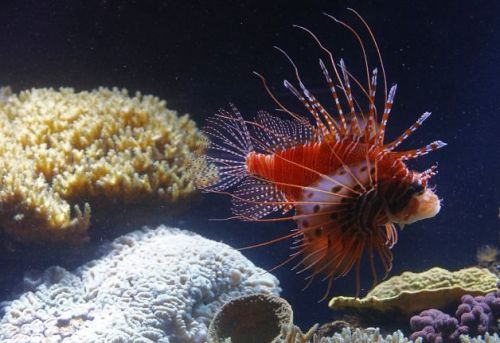 allcreatures:  Red lionfish at the Schonbrunn Zoo in Vienna.  Photo: Alexander Klein, AFP/Getty Images / SF (via Day in Pictures, Oct. 17, 2012 - SFGate)  For my nephew.