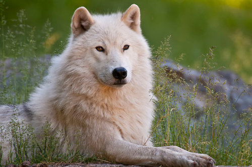 "beautiful-wildlife:  ""Arctic Wolf "" by Michael Cummings 