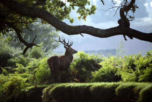 sidelocks-and-foxhounds:  sjalvdestruktiv:  lookslikereindeer: Bradgate Park - Stag (03) by Rodrico on Flickr.       (via TumbleOn)