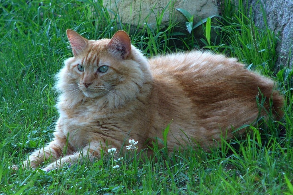 fuckyeahfelines:  Zach was a favorite cat who has now sadly departed. He was filled with affection and loved every other cat and every human he ever met. He is truly missed. This is a picture of him on the farm in Nova Scotia, keeping an eye on everything going on.