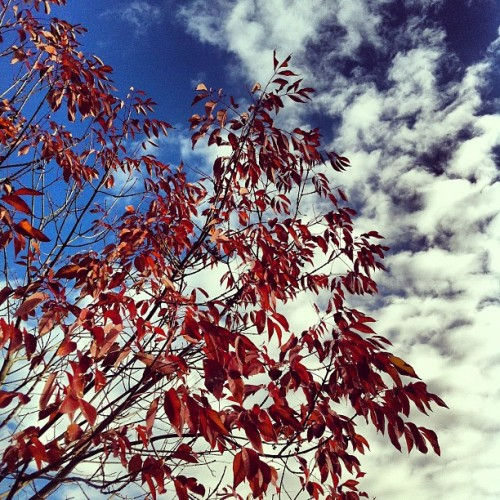 Morning!  #tree #fall #sky #red #autumn #october