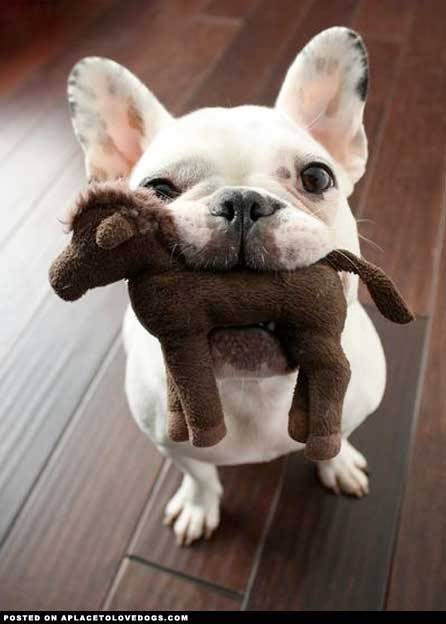 An adorably cute French Bulldog wants to show you his stuffed toy! Original Article