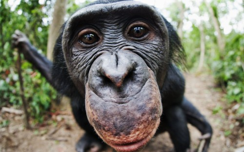 An adult bonobo stares into the camera at Lola Ya Bonobo Sanctuary at Petites Chutes De La Lukaya, in the Democratic Republic of CongoPicture: Martin Harvey / Barcroft Media