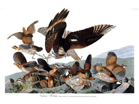 Plate 76 of The Birds of America by John Audubon, the Virginia Partridge, now more commonly called the Northern Bobwhite, sometimes still called the Virginia Quail (in Virginia anyway.) This group's get-together is being ruined by a hungry party crasher who's come for the free food- and isn't concerned whether it's called partridge or quail.