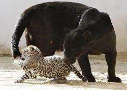 funnywildlife:  Jaguar mother and cub!!