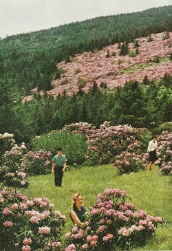 vintagenatgeographic:  Pasture of rhodedendrasNational Geographic | June 1957
