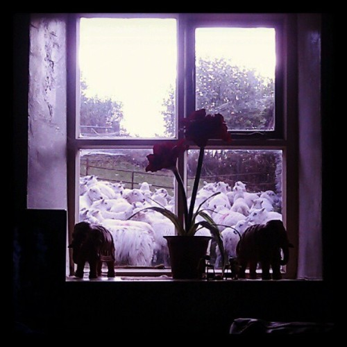 Window full of sheep. Casual.