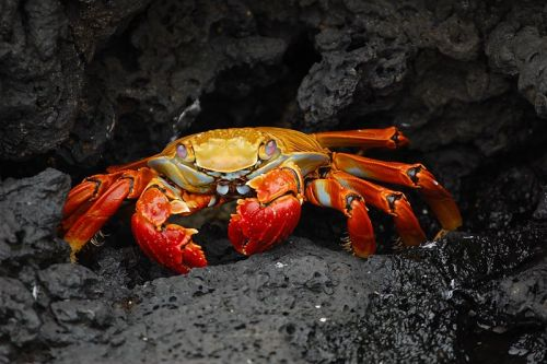 The red rock crab (Grapsus grapsus) is one of the most common crabs along the western coast of the Americas. Adults are quite variable in color, including brownish-red, mottled or spotted brown, pink, yellow, bright orange and red. It feeds on algae primarily, sometimes sampling other plant matter and dead animals. (photo: Lt. Elizabeth Crapo, NOAA Corps)               (via: Wikipedia)