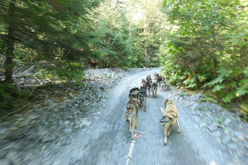 Summer Sled Dogs by EKCJ on Flickr.
