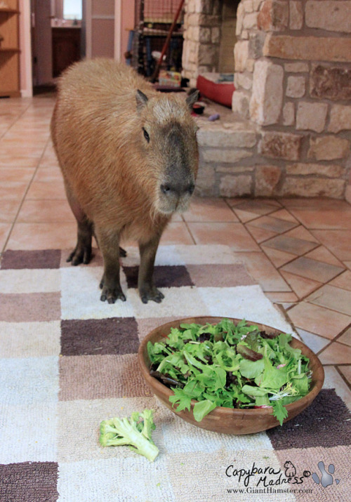 Garibaldi eats about four of these bowls of lettuce every day, plus a bunch of corn, a bunch of kale, chard or endive, a quarter of a cantaloupe, guinea pig food and grass. He is not a cheap animal to feed.