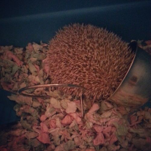 Lazy baby eating #hedgehog #instapet #cute