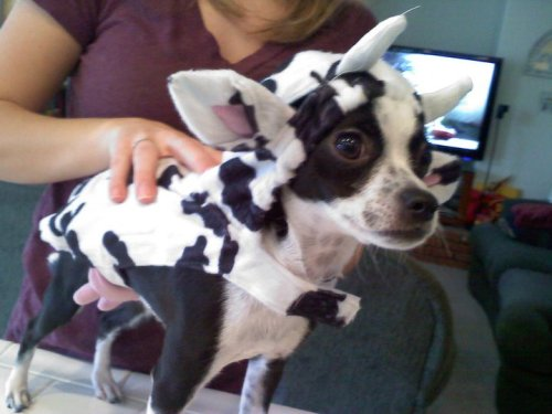 "petswhowanttokillthemselves:  ""You're really milking this Halloween thing, eh?   Barkley from the Busso Family in Chino, CA"
