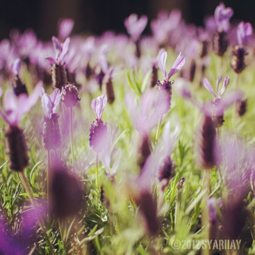 Lavender. #flowers #purple #lavender #Blossom #grass #Nature #garden