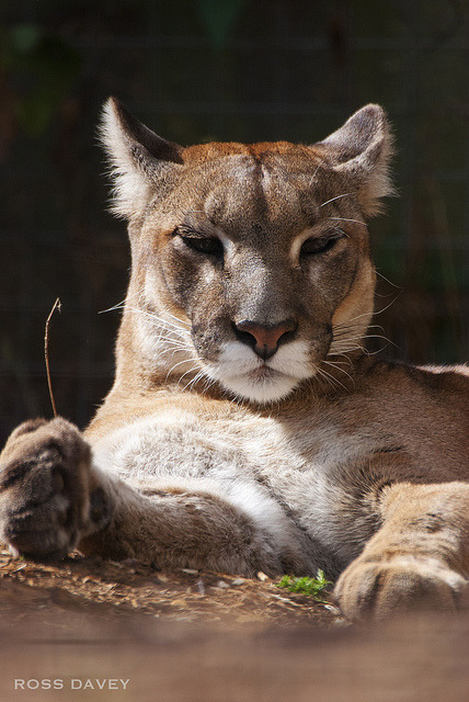 tigersandcompany:  Puma (by Photo_Xtremist)