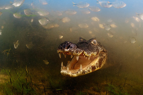 Behaviour: cold-blooded animals Winner: Into the mouth of the caiman by Luciano Candisani (Brazil)