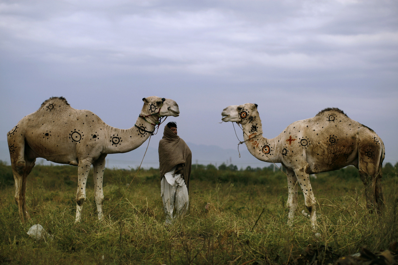 "Oct. 15, 2012. Faqir Zada, 31, stands next to his camels displayed for sale in preparation for the upcoming Muslim holiday of Eid al-Adha, or ""Feast of Sacrifice,"" on a roadside on the outskirts of Islamabad. (photo: Muhammed Muheisen—AP) From Space Shuttle Endeavour's Los Angeles street journey and the second presidential debate to the world's highest freefall and a pair of painted camels in Pakistan, TIME presents the best photographs of the week. See more photos here"