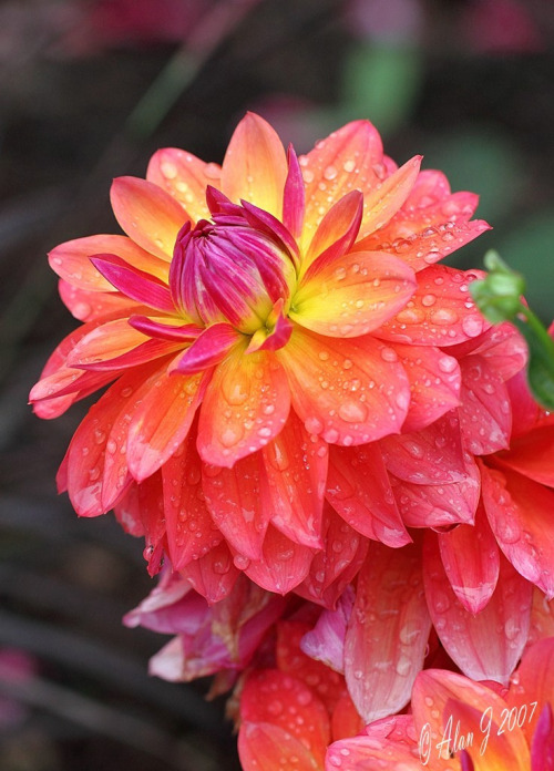 Spicy Dahlias (by alanj2007)