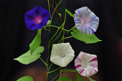 All in one ! multicoloured Ipomea purpurea, Morning glory (by natureloving)
