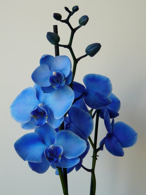 purpleapple317:  Blue Orchid