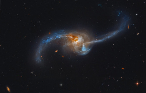 "thescienceofreality:  Merging NGC 2623 - APODImage Credit: Hubble Legacy Archive, ESA, NASA; Processing - Martin Pugh ""NGC 2623 is really two galaxies that are becoming one. Seen to be in the final stages of a titanic galaxy merger, the pair lies some 300 million light-years distant toward the constellation Cancer. The violent encounter between two galaxies that may have been similar to the Milky Way has produced widespread star formation near a luminous core and along eye-catching tidal tails. Filled with dust, gas, and young blue star clusters, the opposing tidal tails extend well over 50,000 light-years from the merged nucleus. Likely triggered by the merger, accretion by a supermassive black hole drives activity within the nuclear region. The star formation and its active galactic nucleus make NGC 2623 bright across the spectrum. This sharp cosmic snapshot of NGC 2623 (aka Arp 243) is based on Hubble Legacy Archive image data that also reveals even more distant background galaxies scattered through the field of view."""