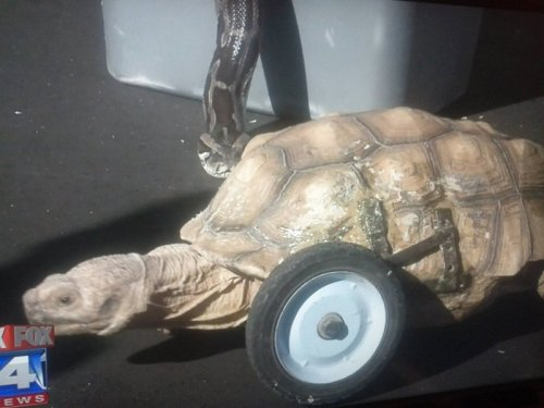 Tortoise Is Ready for Apocalyptic Battle Our slow, shell-bound brethren shall rise and wheel their way to power.